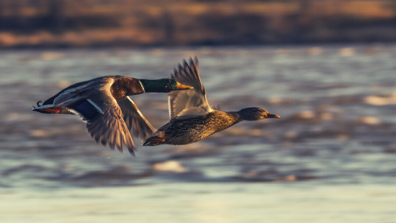 duck-hunting-in-Oklahoma.png#asset:718